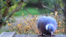 Grote duif die vogelzaad eten stock footage