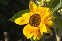 Grote eenjarige zonnebloem. Beautiful sunflower in full morning sun Royalty Free Stock Photos