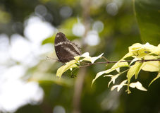 Grote eggfly Stock Foto