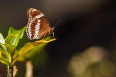 Grote ei-Vlieg vlinder (Hypolimnas-bolina) stock foto