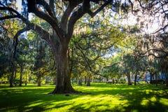 Grote eiken bomen en Spaans mos in Forsyth-Park, Savanne, Geor stock foto's