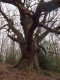 grote eiken boom binnen de bos lange boomstam van de de lente naakte donkere dag Stock Afbeeldingen