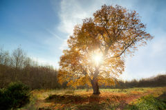 Grote Eiken Boom in de Herfst Royalty-vrije Stock Foto's