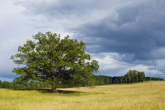 Grote eiken boom op een gebied in Zweden Stock Foto
