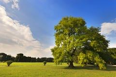 Grote Eiken Boom op een Groene Weide Royalty-vrije Stock Foto's