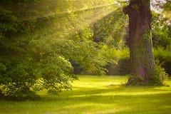 Grote eiken boomboomstam in het park met zonlicht en zonnestraal stock afbeeldingen