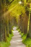 grote eiken boomsteeg met voetweg Royalty-vrije Stock Fotografie