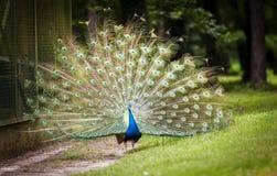 Grote en helder gekleurde vogel, Indische peafowl Royalty-vrije Stock Fotografie