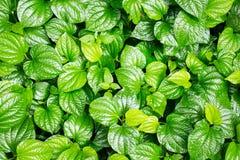 Grote en kleine groene Chaplo-bladeren stock foto