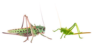 Grote en kleine sprinkhanen tegen elkaar stock afbeeldingen