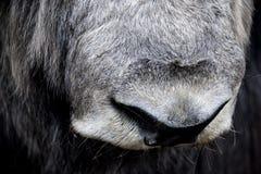 Grote en natte neus van ungulate stock afbeelding