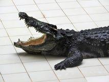 Grote en oude krokodillen tijdens opleiding in het paviljoen, Thailand royalty-vrije stock foto