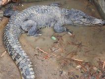 Grote en oude krokodillen tijdens opleiding in het paviljoen, Thailand stock afbeelding