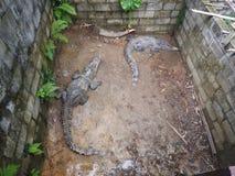 Grote en oude krokodillen tijdens opleiding in het paviljoen, Thailand stock foto