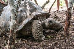 Grote en oude schildpad op Zanzibar tanzania stock foto's