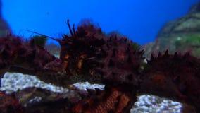 Grote enge krab die onder water4k dicht omhoog video kruipen stock footage