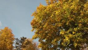 Grote esdoorn met gele en oranje bladeren op een blauwe hemelachtergrond stock videobeelden