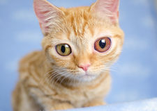 Grote eyed Kitty Cat royalty-vrije stock afbeelding