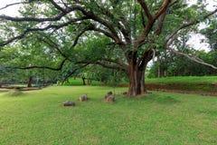 Grote ficussenboom Royalty-vrije Stock Afbeeldingen