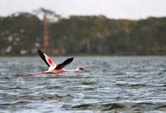 Grote Flamingo bij Meer Naivasha stock afbeeldingen