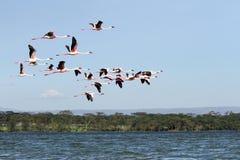 Grote Flamingo die boven Naivasha-meer vliegen Royalty-vrije Stock Afbeeldingen