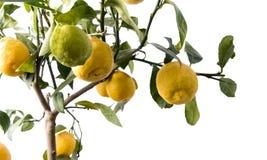 GROTE geïsoleerdea citroenboom - Stock Afbeelding