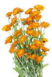 Grote geïsoleerder Struik van oranje bloemen Royalty-vrije Stock Foto