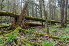 Grote gebroken boom die in de lentebos liggen Stock Fotografie