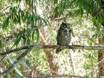 Grote Gehoornde die Uil in de wildernis op een tak wordt neergestreken royalty-vrije stock afbeelding