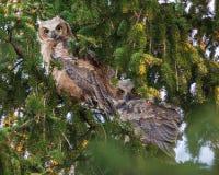 Grote Gehoornde Jonge uilen Royalty-vrije Stock Afbeelding