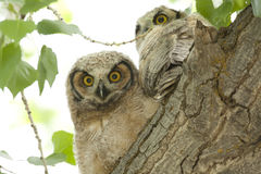 Grote Gehoornde Jonge uilen Royalty-vrije Stock Afbeeldingen