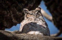 Grote Gehoornde Owl Bubo-virginianus Stock Fotografie