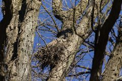 Grote Gehoornde Owl Bubo-virginianus royalty-vrije stock foto's