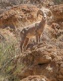 Grote gehoornde schapen in Sonoran-Woestijn Arizona stock foto