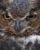 Grote gehoornde uil Royalty-vrije Stock Foto's