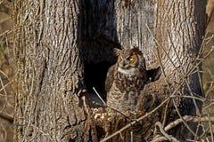 Grote Gehoornde Uil bij Nest Royalty-vrije Stock Fotografie