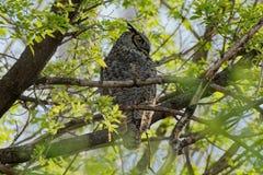 Grote Gehoornde Uil in de Bomen Royalty-vrije Stock Foto