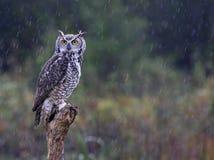 Grote Gehoornde Uil in de Regen Stock Afbeelding