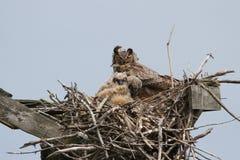 Grote Gehoornde Uil met Jonge uilen in het Nest royalty-vrije stock fotografie