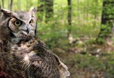 Grote Gehoornde Uil in natuurlijke habitat stock afbeeldingen