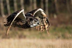 Grote Gehoornde Uil tijdens de vlucht stock fotografie