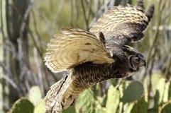 Grote gehoornde uil tijdens de vlucht, vleugels die motie tonen stock fotografie