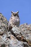 Grote Gehoornde Uil (virginianus Bubo) stock fotografie