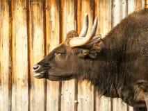 Grote gehoornde vuile donkere stier royalty-vrije stock foto