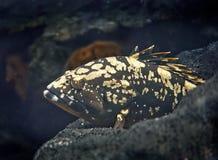 Grote gekleurde vissen in de Maldiven onderwater Royalty-vrije Stock Foto