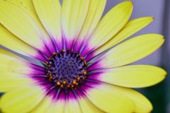 Grote gele bloem in bloei Royalty-vrije Stock Afbeeldingen