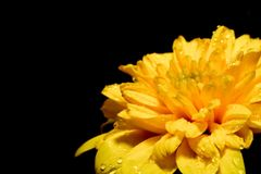 Grote gele bloem op een zwarte achtergrond in de hoek Stock Afbeeldingen