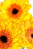 Grote gele bloemen Stock Afbeeldingen