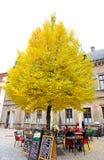 Grote gele boom op het Kasteelgebied van Praag De boom bepaalt van dichtbij een koffiewinkel de plaats binnen kasteelmuur Stock Afbeeldingen
