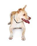 Grote Gele Hond die en aan Kant liggen kijken Stock Fotografie